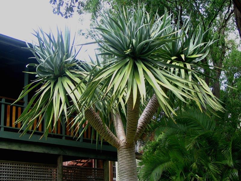 Alfa Img Showing gt Dragon Tree Plant