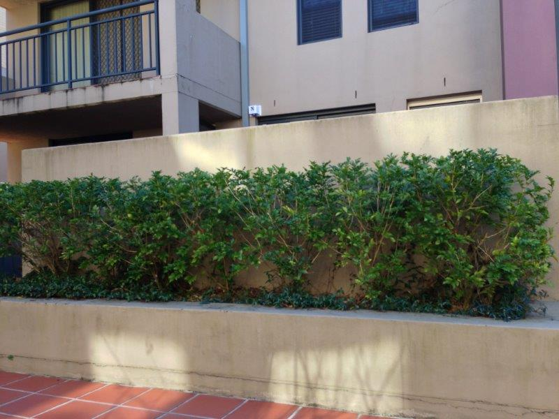 Strata Landscaping - hedge to be replaced