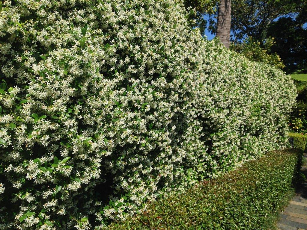 Lush Jasmine hedge