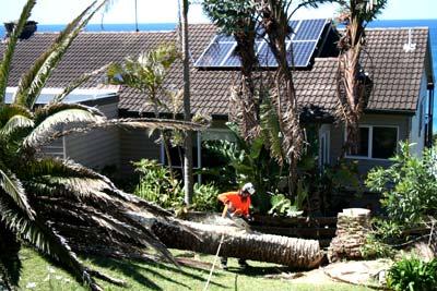 Palm de-fronding Avalon